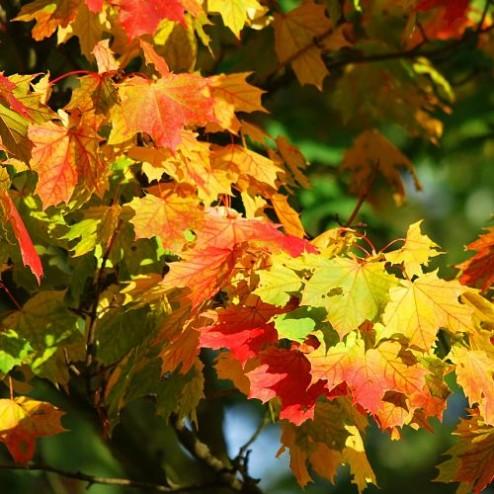 Autumn_Maple