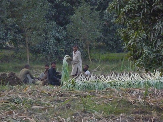 Sugarcane workers (Photo by Ayaz Qureshi)